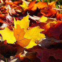 """""""Of Light and Leaves""""<br /> <br /> Beautiful sunlight through a golden maple leaf on the ground in a bed of fall leaves!"""