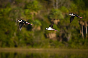 Aquidauana_MS, Brasil...Aves voando sobre um lago na fazenda Rio Negro no Pantanal...Birds flying under the lake in the Rio Negro farm in Pantanal...Foto: JOAO MARCOS ROSA / NITRO