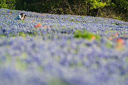 Photographer taking photographs in field of Indian paintbrush (Castilleja indivisa) and bluebonnets (Lupinus texensis), Ennis, Texas USA. Tentative ID.