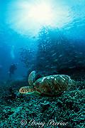green sea turtle, Chelonia mydas, and bigeye jacks, <br /> Caranx sexfaciatus, in daytime refuging school<br /> Sipadan, Borneo, Malaysia<br /> ( Celebes Sea )