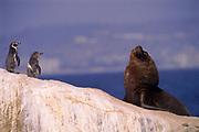 Magellanic Penguins & Southern Sea Lion Bull<br />Spheniscsu magellanicus & Otaria byronia<br />Coast of CHILE.  South America