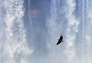 Black vulture in Iguazu Falls, Brazil.