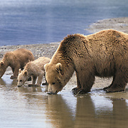 Alaskan Brown Bear (Ursus middendorffi) mother with her two cubs drinking from a river. Summer in Katmai National Park, Alaska