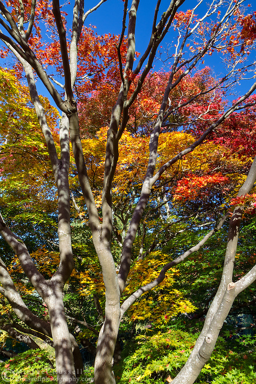 Fall Japanese Maple Foliage at Queen Elizabeth Park in Vancouver, British Columbia, Canada