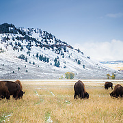 Seven american buffalo grazing in snow, Grand Teton National Park, Wyoming, USA