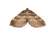 Shoulder-stripe - Anticlea badiata