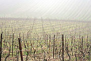 grapevines during late fall in field covered with fog