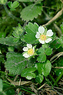 BARREN STRAWBERRY Potentilla sterilis (Rosaceae) Height to 15cm. Hairy perennial with long, rooting runners. Favours dry, grassy places and woodland rides. FLOWERS are 10-15mm across with 5 white and widely separated petals (Mar-May). FRUITS are dry and papery. LEAVES are bluish green and trifoliate, the terminal tooth of end leaflet is shorter than adjacent ones. STATUS-Widespread and common.
