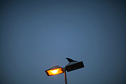 A crow is sitting on a street light at the S-Bahn station Oberursel-Stierstadt.
