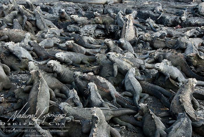 Large pile of Marine Iguana (Amblyrhynchus cristatus) all sunbathing on dark rocks. Galapagos, Ecuador