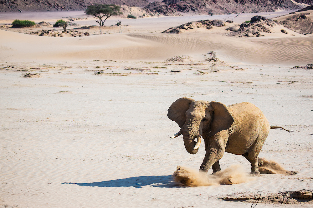 An aggressive desert-dwelling elephant bull (Loxodonta africana) kicks up the sand in preparation of a charge, Skeleton Coast, Namibia, Africa