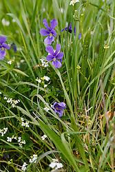Blauw zinkviooltje, Viola guestphalica