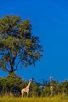 Giraffes, Kwando Concession, Linyanti Marshes, Botswana.