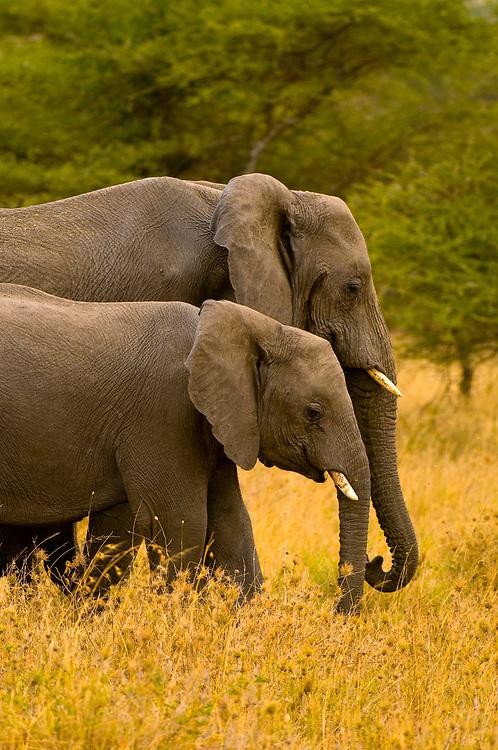 A herd of African Elephants, Serengeti National Park, Tanzania