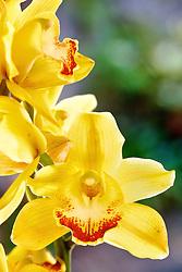 """O Oncidium flexuosum , também chamado de """"dama dançante"""" por causa de seu labelo que se assemelha a uma bailarina, é uma espécie de orquídeas da subfamília Epidendroideae da família das (Orquidáceas). FOTO: Jefferson Bernardes/Preview.com"""