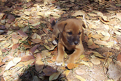 A dingo pup at Mt Hart Wilderness Lodge on the Gibb River Road. As the apex predator, dingos play an important role in balancing the ecosystem and controlling feral cats.