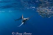 striped marlin, Kajikia audax (formerly Tetrapturus audax ), feeding on baitball of sardines or pilchards, Sardinops sagax, off Baja California, Mexico ( Eastern Pacific Ocean ) #3 in sequence of 7