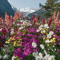 Non-native garden flowers bloom in a bed outside Chateau Lake Louise in Banff National Park, Alberta Canada.