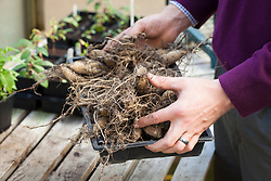 Lifting and storing dahlia tubers in a greenhouse over winter