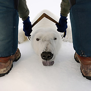Dr. Steve Amstrup, USGS biologist, takes the skull measurement of a large male polar bear on the ice pack of the Beaufort Sea. A group of biologists lead by Dr. Amstrup, head to the Beaufort Sea pack ice each year to collect data on this region's polar bear population. I spent two weeks helping them with their research and documenting their project. This is part of the Tri-P, Polar Population Project, sponsored in part by Polar Bears International to census Arctic regions for an accurate count of the world's remaining polar bears