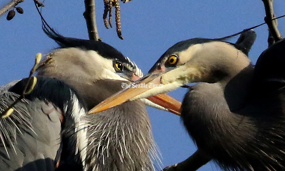 Sharp, dagger-like beaks are great for spearing fish. This is a mating pair on a nest in a colony on West Commodore Way. (Alan Berner / The Seattle Times)