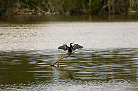 Because anhingas don't have the oil glands found in other aquatic birds like ducks, gulls, swans, etc, when they come out of the water, they will need to dry their wings in order to fly. The advantage of not having this seemingly important oil so essential to buoyancy is that when underwater, the anhinga becomes an extremely fast and agile swimmer and a very efficient fish hunter. Throughout the Gulf Coast, this is a very typical sight: an anhinga perched above water,  wings spread drying in the wind and heat. This one was photographed in the middle of Fort Myers, Florida.