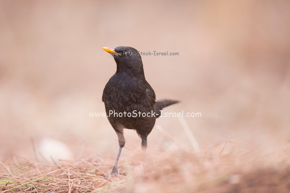 Male Common Blackbird or Eurasian Blackbird (Turdus merula) This bird is found throughout Europe and the near east and feeds on a variety of foods, including fruits, berries, insects and worms. Photographed at the Ein Afek nature reserve, Israel in November
