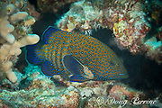 peacock grouper, blue-spotted grouper, peacock hind, or roi, Cephalopholis argus, an exotic and invasive species in Hawaii, deliberately introduced; Kohanaiki, Kona, Big Island, Hawaii, USA ( Central Pacific Ocean )