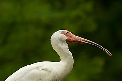 White Ibis stopping a posing for the camera.