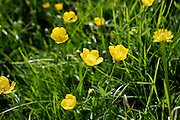 Buttercups growing in a meadow, England