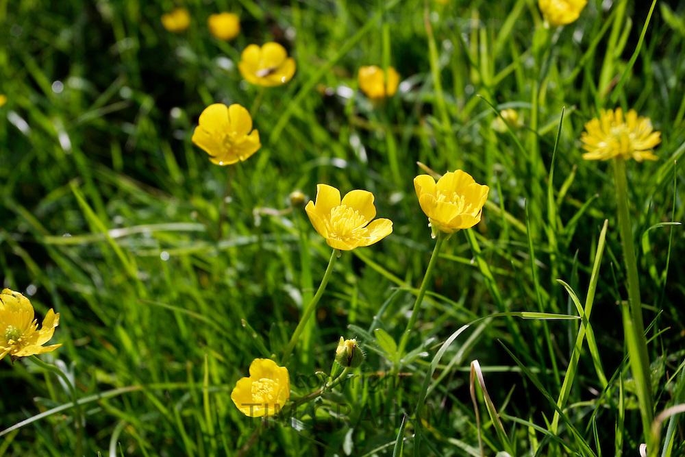 Buttercups growing in a meadow, England