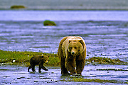Grizzly bear (brown bear), with 6 month old cub, McNeil River State Game Sanctuary, Kamishak Bay, Alaska. Endangered species. Climate change affecting migration of salmon, primary food source for these bears.