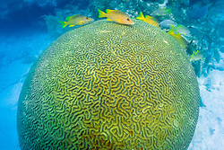 builder brain coral, Colpophyllia natans, and schoolmaster, Lutjanus apodus, Davis Reef, Islamorada, Florida Keys National Marine Sanctuary, Florida, Atlantic Ocean