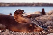 Galapagos sea lion,  Zalophus wollebaeki, endemic and endangered species, and pup, South Plaza Island, Galapagos Islands, Ecuador ( Eastern Pacific Ocean )