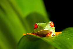 © under license to London News Pictures. 23/09/12. A Red Eyed Green Tree Frog. Animals appear to pose for their portrait as part of a photo session in Macro photography at Park Farm in the heart of Knowsley Safari Park in Merseyside. Photo credit should read IAN SCHOFIELD/LNP