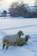 Sheep with hay in deep snow in the village of Swinbrook, The Cotswolds, UK