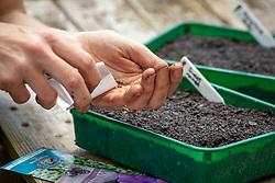 Sowing biennials into a half seed tray. Foxgloves - Digitalis purpurea -  and Sweet rocket - Hesperis matronalis