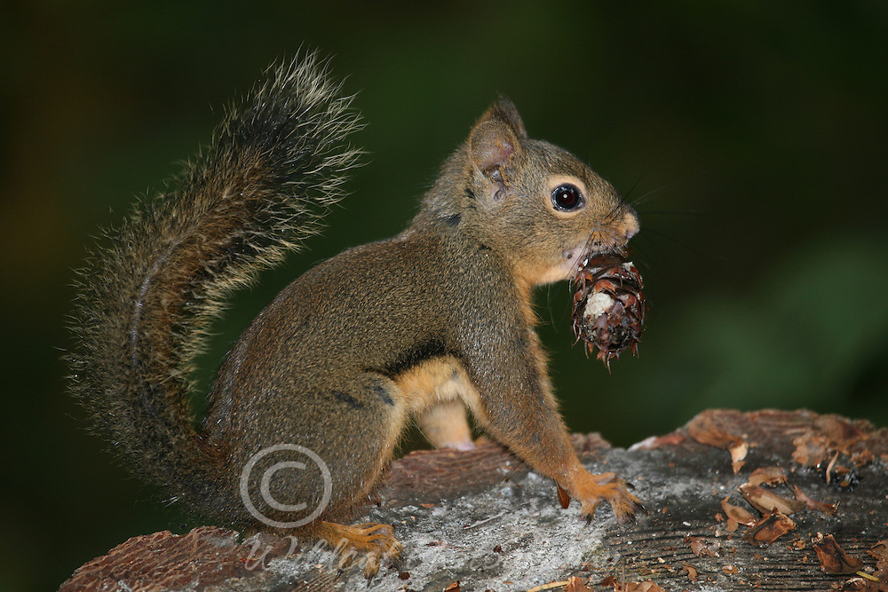Douglas squirrel with lunch.