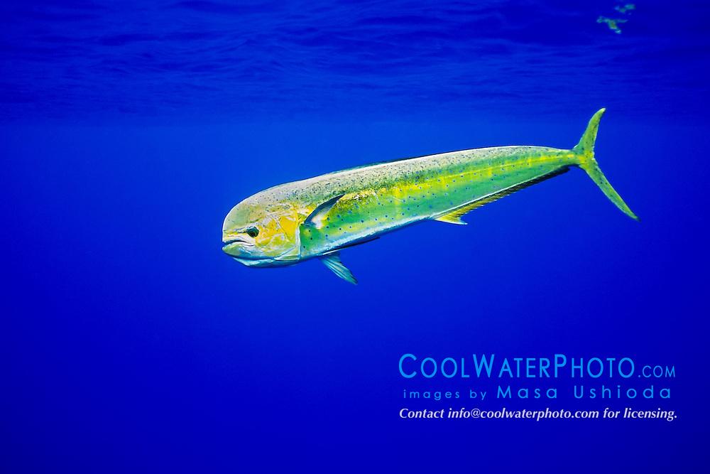 mahi mahi, dolphin fish, or dorado, Coryphaena hippurus, cow, Kona Coast, Big Island, Hawaii, USA, Pacific Ocean