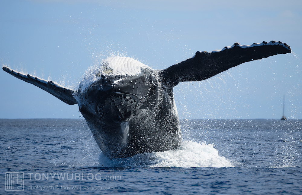 Frontal view of an adult female humpback whale (Megaptera novaeangliae) breaching. This female had a calf, and the pair both engaged in breaching for prolonged periods. Sailing yacht visible in the background. Photographed in Vava'u, Kingdom of Tonga.