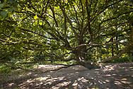 oak tree in the Wahner Heath near Telegraphen hill, Troisdorf, North Rhine-Westphalia, Germany.<br /> <br /> Eiche in der Wahner Heide nahe Telegraphenberg, Troisdorf, Nordrhein-Westfalen, Deutschland.