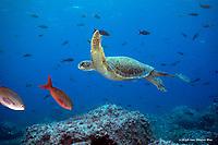 Sea Turtle - Darwin Island, Galapagos Islands