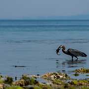 A heron eats a plainfin midshipman fish (Porichthys notatus) during an extremely low tide, which exposes the fish's nesting sites to predators and the heat.