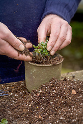 Repotting and dividing a hepatica.<br /> Placing in pot and adding soil