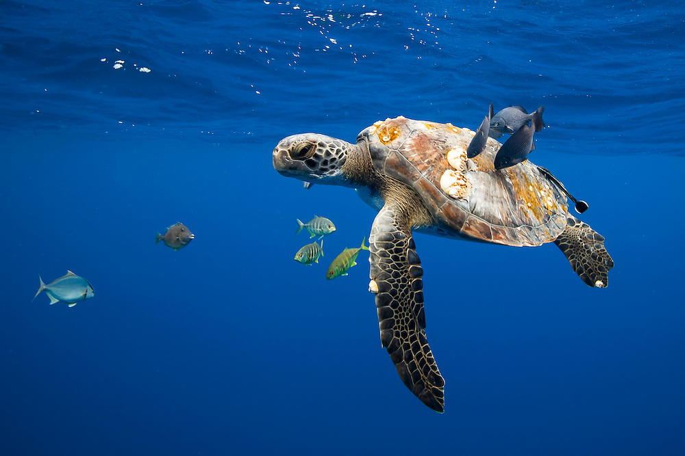 Mexico, Guerrero, Ixtapa. A sea turtle being cleaned by some  fish beneath the waves  some 10 miles off the coast.