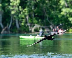Cormorant flying by kayakers on the Silver River in Ocala Florida.