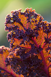 Kale 'Red Bor'