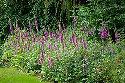 Border of foxgloves and geraniums at the back of the garden on a woodland's edge. Digitalis purpurea