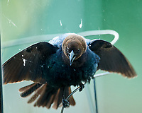 Brown-headed Cowbird. Image taken with a Nikon D3x camera and 600 mm f/4 VR lens.