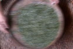 THEMENBILD - Bei der traditionellen Produktion von Schwarztee, orthodoxe Teeproduktion genannt, durchlaufen die Teeblätter fünf Stufen: das Welken (Withering), damit die Blätter weich und zart werden, das Rollen (Rolling), das Aussieben, die Oxidation und zum Schluss die Trocknung (Firing). Um die Blätter nach dem Pflücken zu erweichen, wurden sie früher zwei Stunden in die Sonne gelegt. Später verwendete man Welkhürden in speziellen Hallen, in denen eine Temperatur von 20 bis 22 °C herrschte. Der Welkprozess dauerte dann bis zu 24 Stunden. Heute werden meistens so genannte Welktunnel eingesetzt, die die Teeblätter auf Fließbändern durchlaufen. Die Stärke der Welkung wirkt sich (im umgekehrten Verhältnis) auf den Grad der später erzielbaren Oxidation aus. Aufgenommen in Zhongcunba am 7. April 2016 // A worker removes impurities from the dried tea leaves in Zhongcunba Village of Xuan'en County, central China's Hubei Province, April 7, 2016. EXPA Pictures © 2016, PhotoCredit: EXPA/ Photoshot/ Song Wen<br /> <br /> *****ATTENTION - for AUT, SLO, CRO, SRB, BIH, MAZ, SUI only*****